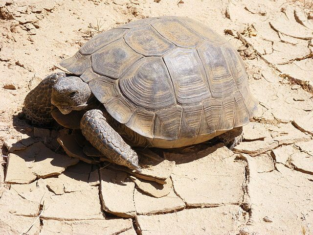 Mortality and Aging Not the Same for All Species, Study Suggests by James A. Foley, natureworldnews: While some organisms, like humans, are strong in their youth and grow weaker as they age, the opposite is true for some species, while others seem to be unaffected by age at all. (Mortality for the desert tortoise decreases with age and its strength increases.) Photo via Wikimedia Commons. #Evolutionary_Biology #Animals #Mortality #Aging