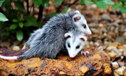 The opossums, also known by their scientific name Didelphimorphia, make up the largest order of marsupials in the Western Hemisphere, including 103 or more species in 19 genera.