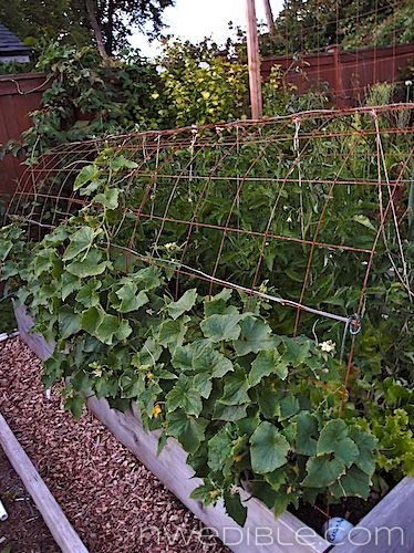 Concrete rebar supports cukes on the outside and shades lettuce on the inside.Gardens Ideas, Gardens Vertical, Gardens Adventure, Concrete Rebar, Fabulous Gardens, Support Cukes, Rebar Support, Concrete Mesh, Shades Lettuce