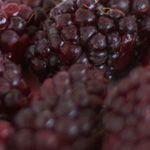 De boysonberry is een smakelijke kruising tussen frambozen en bramen. Deze braamboos heeft een donkerpaarse tot zwarte kleur. De smaak heeft het meeste weg van de braam. Geeft goed vrucht, heeft geen doorns.  Pluktijd: Juli, Augustus  Vruchtkleur: Zwart, Paars  Smaak: Zoet   Zelfbestuivend