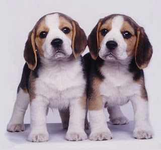 Image result for twin beagles