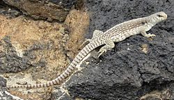 The desert iguana (Dipsosaurus dorsalis) is one of the most common lizards of the Sonoran and Mojave deserts of the southwestern United States and northwestern Mexico. They also occur on several Gulf of California islands.