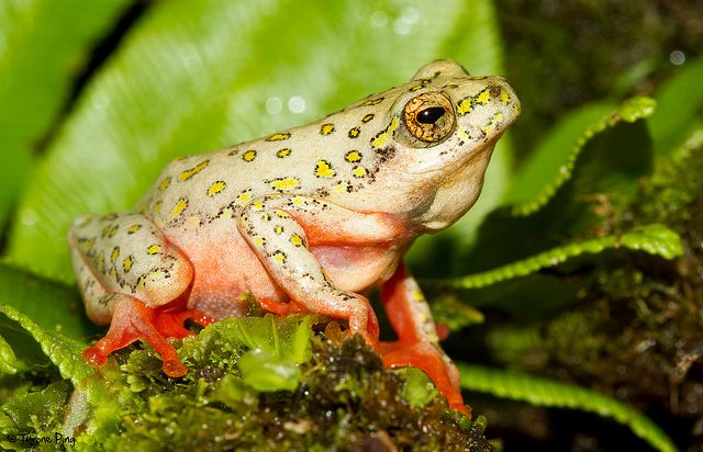 Hyperolius marmoratus (Hyperoliidae) is an African frog commonly known as Painted reed frog or Marbled reed frog