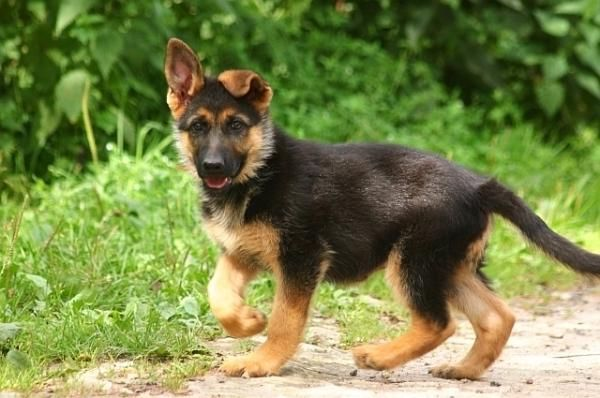 how to train a german shepherd puppy youtube