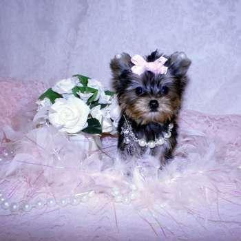 New Yorkie Puppies Yorkies For Sale Elvis Yorkshire Terrier Miniature Micro