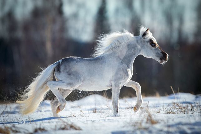 The Falabella, is one of the smallest of horses. These tiny horses (not ponies, but miniature horses) rarely stand taller than 32 inches at the withers. The breed originated in Argentina in the mid-1800s with Patrick Newtall and son-in-law Juan Falabella, and were first imported to the U.S. in 1962. Sturdy and strong, they are a mix of Criollo, Welsh, Shetland pony and small Thoroughbred breeds. They are also long lived 40-45 years: The Falabella, is one of the smallest of horses. These tiny horses (not ponies, but miniature horses) rarely stand taller than 32 inches at the withers. The breed originated in Argentina in the mid-1800s with Patrick Newtall and son-in-law Juan Falabella, and were first imported to the U.S. in 1962. Sturdy and strong, they are a mix of Criollo, Welsh, Shetland pony and small Thoroughbred breeds. They are also long lived 40-45 years