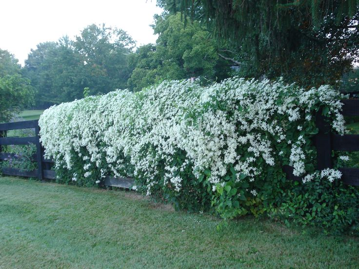 Sweet Autumn Clematis  (Clematis terniflora) blooms on new growth. Cut it back every spring to about 6 inches. This step is very important, otherwise it will not be as prolific of a bloomer. This Clematis easily spreads to cover a whole section of fence or large trellis in one year. Does best in full sun but will bloom in light shade as well.