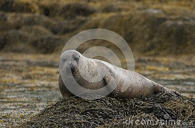 Grey seal - Foca - Halichoerus grypus seen in Scotland