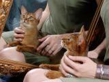 Neshamah Sheli UA - Питомник абиссинских кошек Thamos Katoomba. Daughter after IC Nile Didgeridoo
