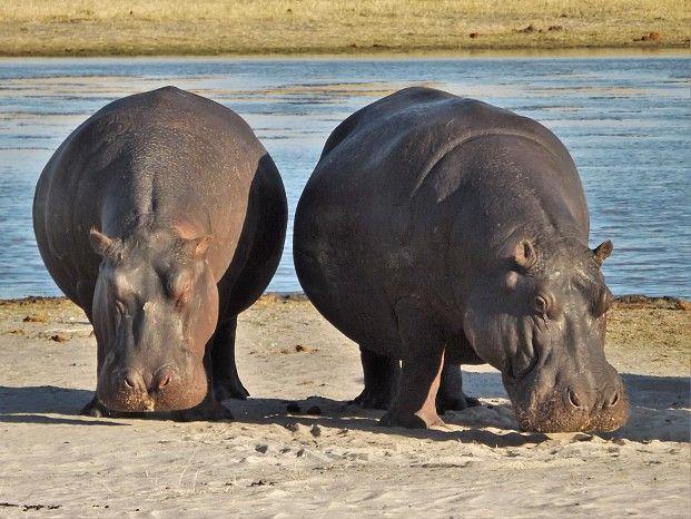 Happy hippo in Hwange