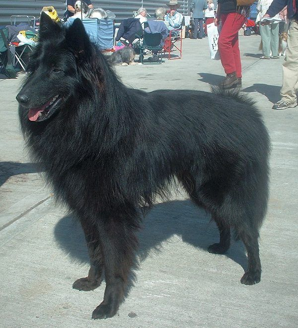 Belgischer Schaeferhund (Groenendael)