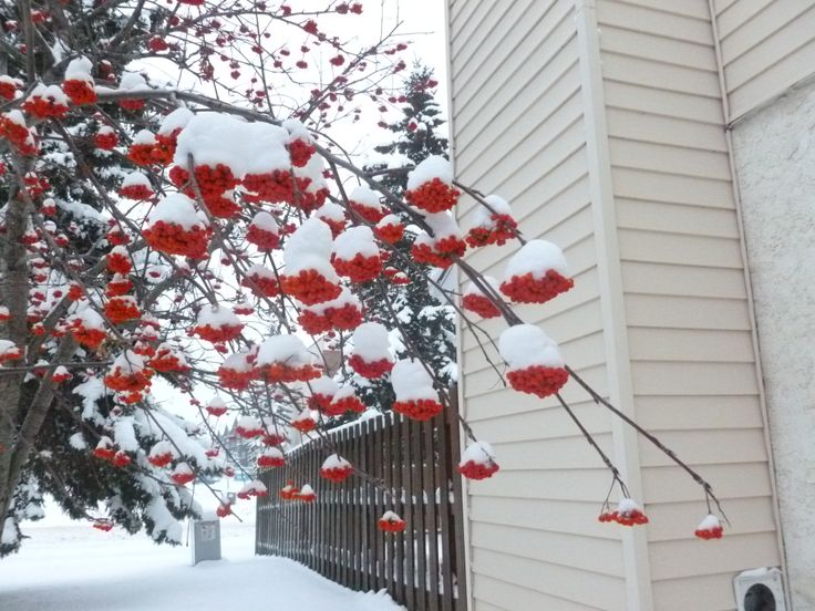 Chokeberries and snow