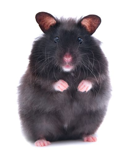 black teddy bear hamster - Google Search