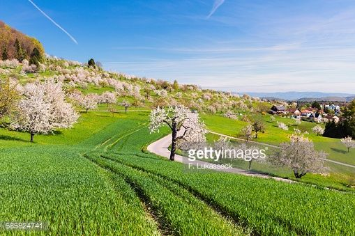 Foto de stock : Blooming cherry trees on a green field with tracks, spring, St Pantaleon, Canton of Solothurn, Switzerland