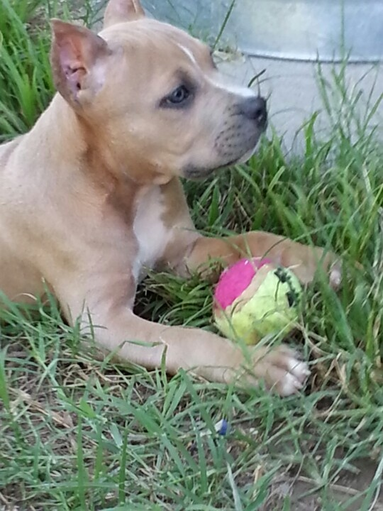 Pitbull Blue fawn so freaking cute!!!!!