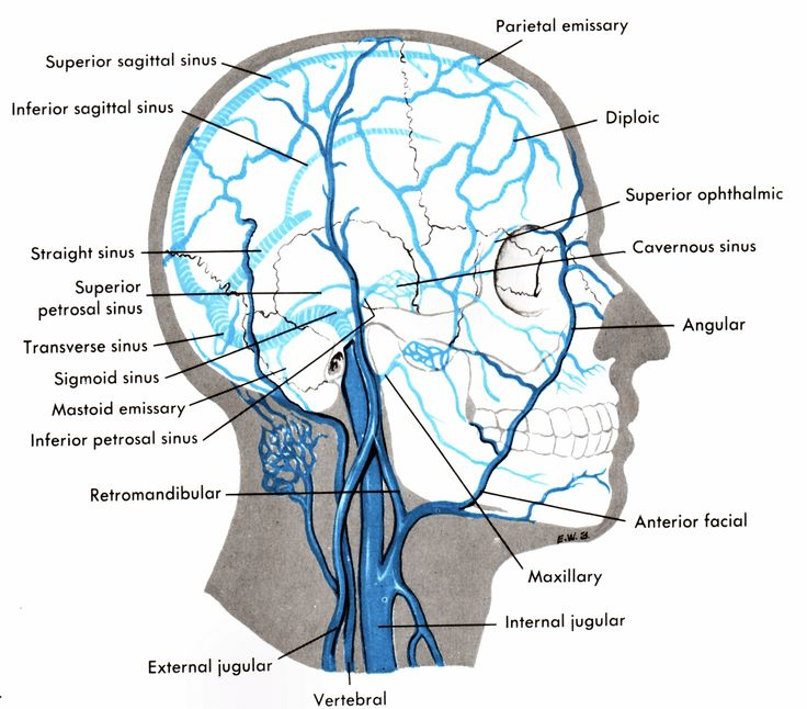 sinus    cavities in back    of head      Arthur s Medical Circulatory System Clipart Page 4   Sinuses