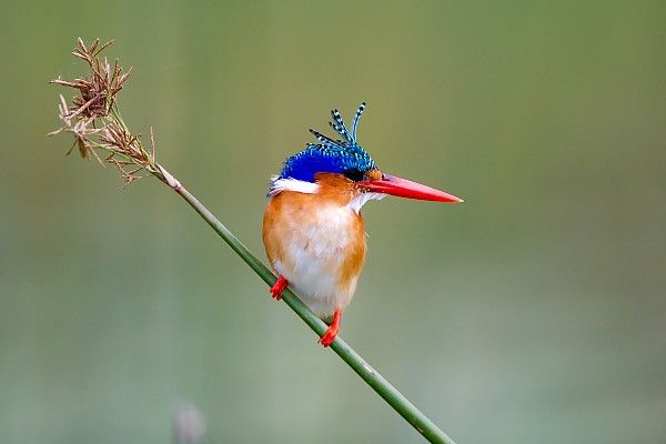 The Okavango Delta's inscription as a World Heritage Site is a major conservation milestone #Malachite_Kingfisher