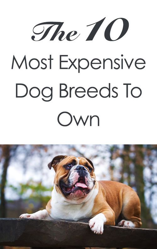 The 10 Most Expensive Dog Breeds To Own http://iheartdogs.com/10-most-expensive-dog-breeds-to-own/