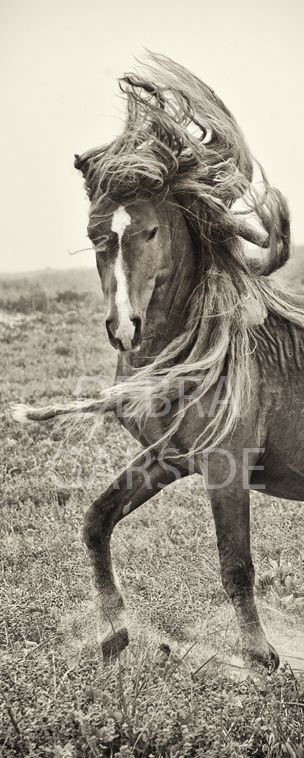 On the bucket list: Sable Island and its' incredibly beautiful wild horses