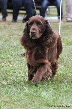 Field Spaniel in conformation trial.