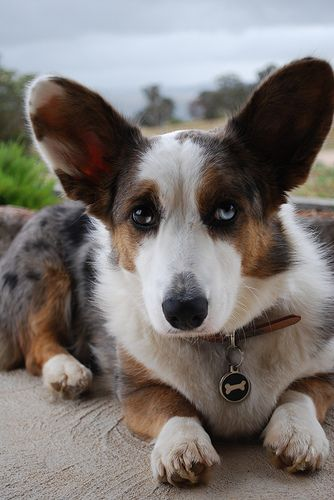 Want a blue merle cardigan welsh corgi Santa.....