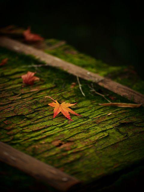 Autumn leaves at Jojakko-ji temple, Kyoto, Japan 常寂光寺
