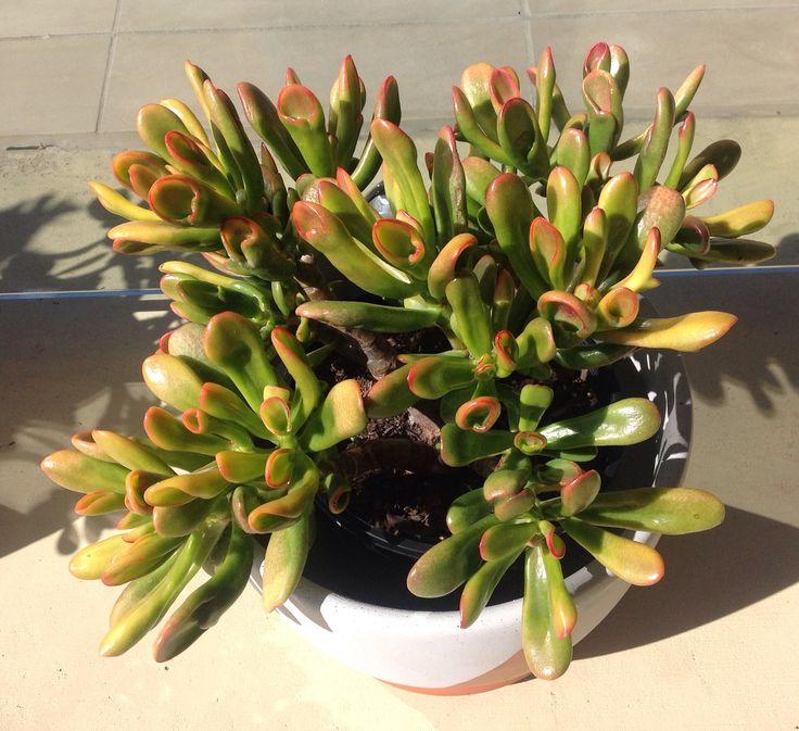 42 best succulent wish list images on pinterest succulents cacti and succulent plants. Black Bedroom Furniture Sets. Home Design Ideas