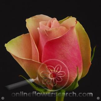 Rose La Belle