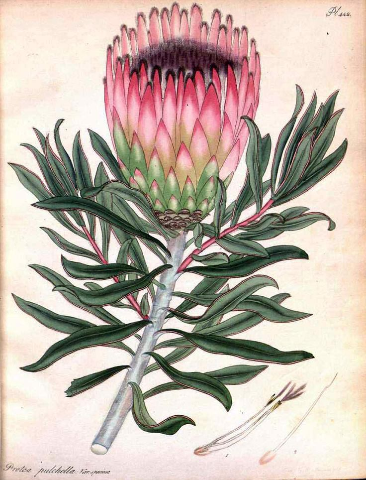 Protea pulchella from Andrews, H.C., The botanist's repository, 1806-1807