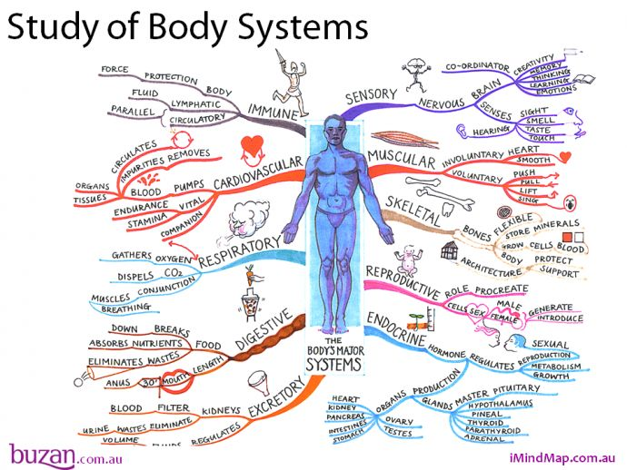 The Study of body systems mind map will help you to explore the major systems of our body's. The Mind Map breaks down areas such as sensory, muscular, skeletal, reproductive, endocrine, excretory and digestive systems. In addition the mind map covers the respiratory, cardiovascular and immune systems. www.tonybuzan.com