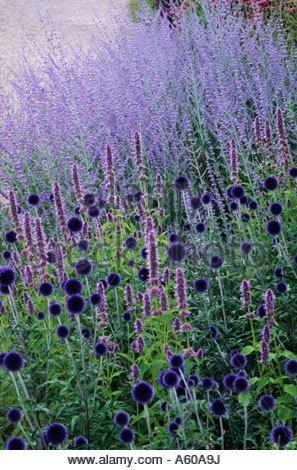 Echinops 'Veitch's Blue, Perovskia 'Blue Spire', Pensthorpe Millennium Garden, Norfolk, Blue, purple colour combination, plants,
