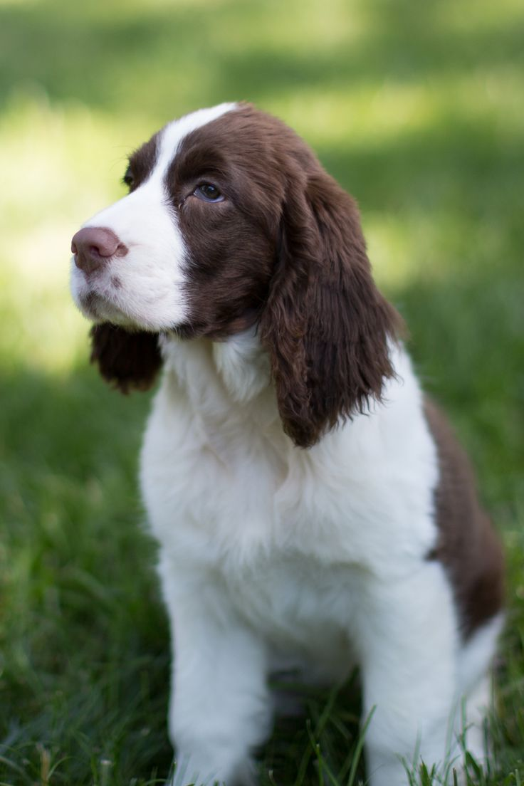 English Springer Spaniel puppy - liver and white