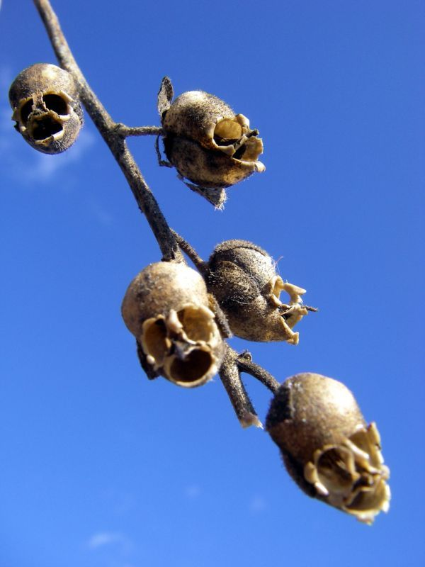 seed pods of a snapdragon flower looks just like a string of human skulls - The World's Weirdest Flowers