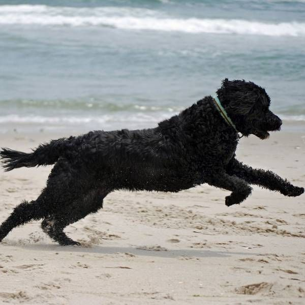 463 best images about portuguese water dogs on pinterest for Water dog fish