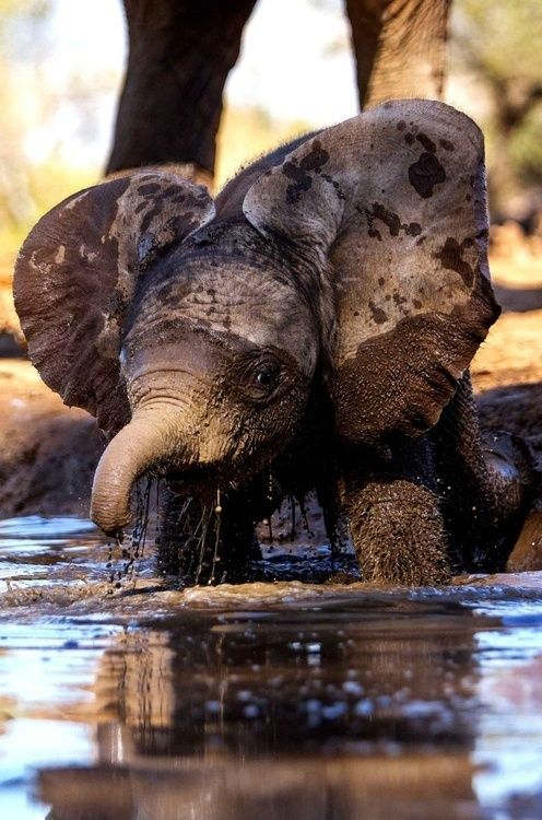 A baby African Elephant taking a relaxing mud bath!