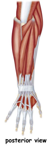 Barbeau - Human Anatomy Lecture (205)Supplements: Muscular System