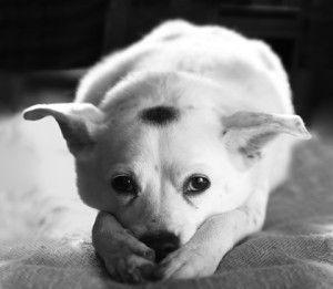 sad-dog-300x261.jpg (300×261)
