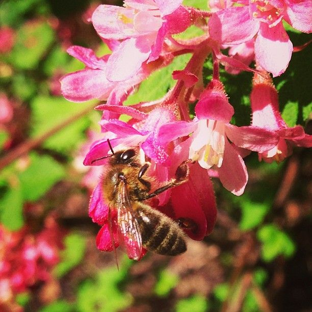 Honeybee foraging on red flowering currant, Ribes sanguineum – Instagram by @fernwoodsy