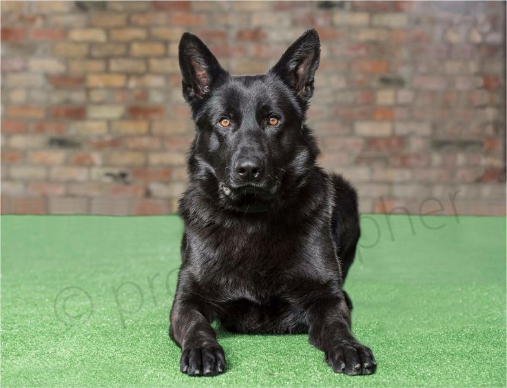 Blade family #protection dog now available fully trained. Call 0785 8120 456 for more information