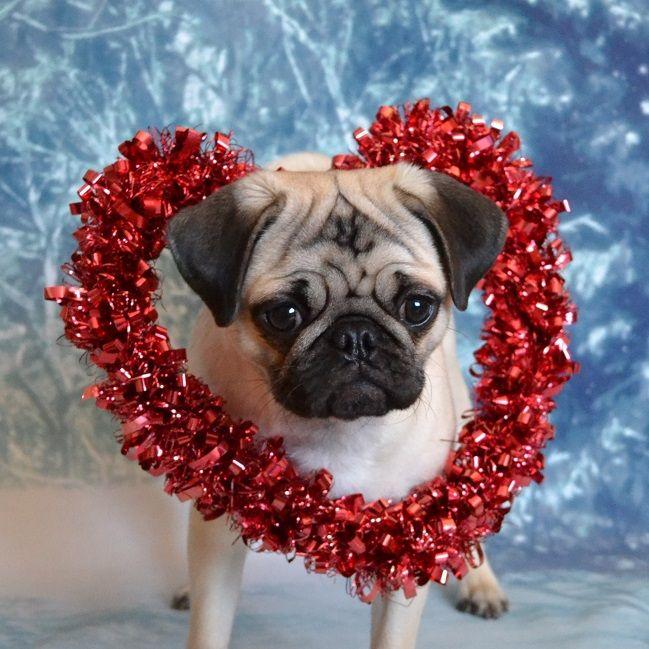 Pug Valentine Boo
