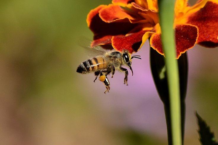 """¿Podemos salvar a las abejas?  La muerte masiva de abejas es un hecho que ha aquejado al planeta desde hace décadas, las razones exactas aún no han sido diagnosticada, sin embargo el informe """"El Declive de las Abejas"""" de la orga…"""