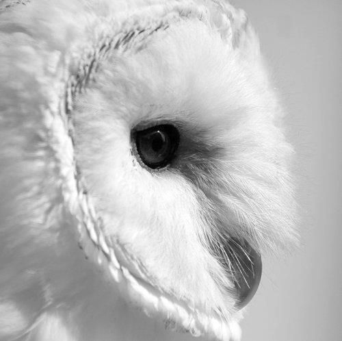 Witte Uil.