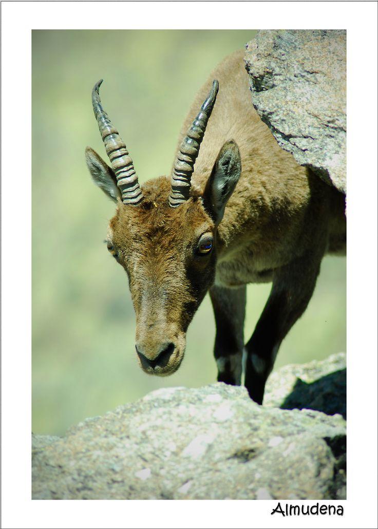 Una ruta muy bonita por la Sierra de Gredos, acompañados de un sinfín de cabras montesas y otras muchas cosas de Naturaleza.