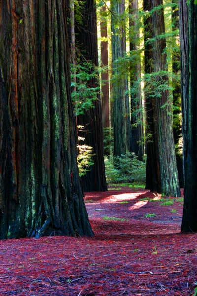 Touch a coastal redwood, then take one of its foliage to keep