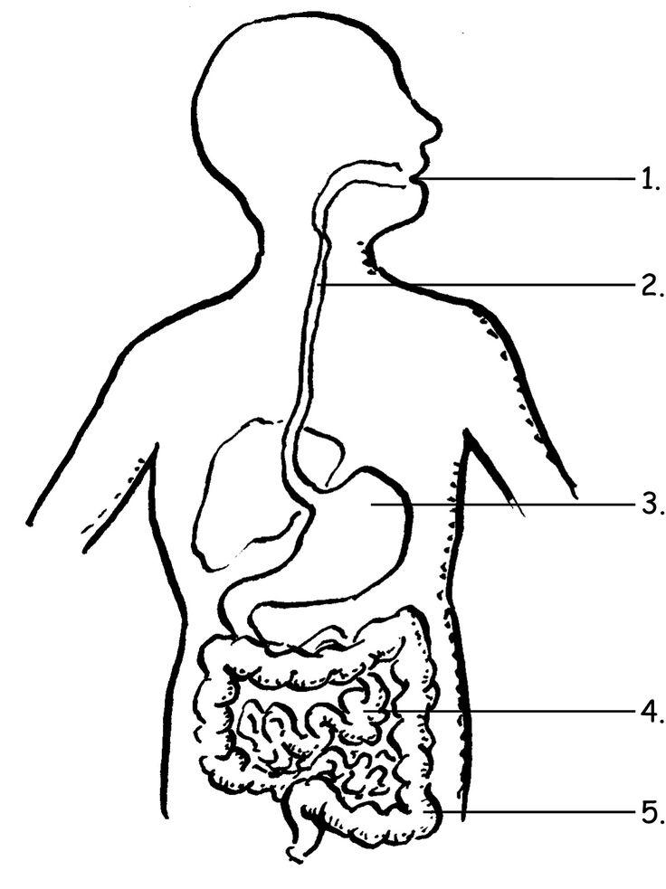 image result for label the digestive system for grade 4