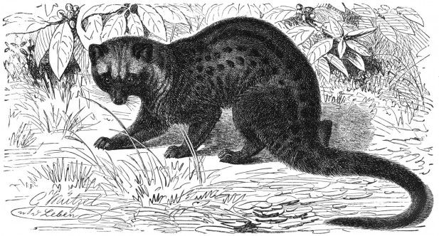 Common Asian Palm Civet. So we are Sell Luwak Coffee and Other Types of Coffee. 100% Original. Ship Worldwide. Rsvp: Mr. Ari Gusti. M +62881 942 85 92 (SmartFren). BlackBerry PIN 31C05915. Your inquiry will brighten our days, along with a cup of coffee!