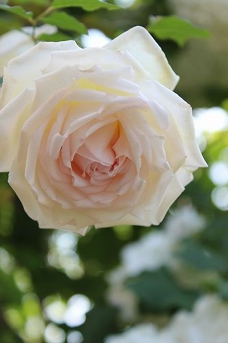 Tea Rose: Rosa 'Madame Bravy' (France, 1846)