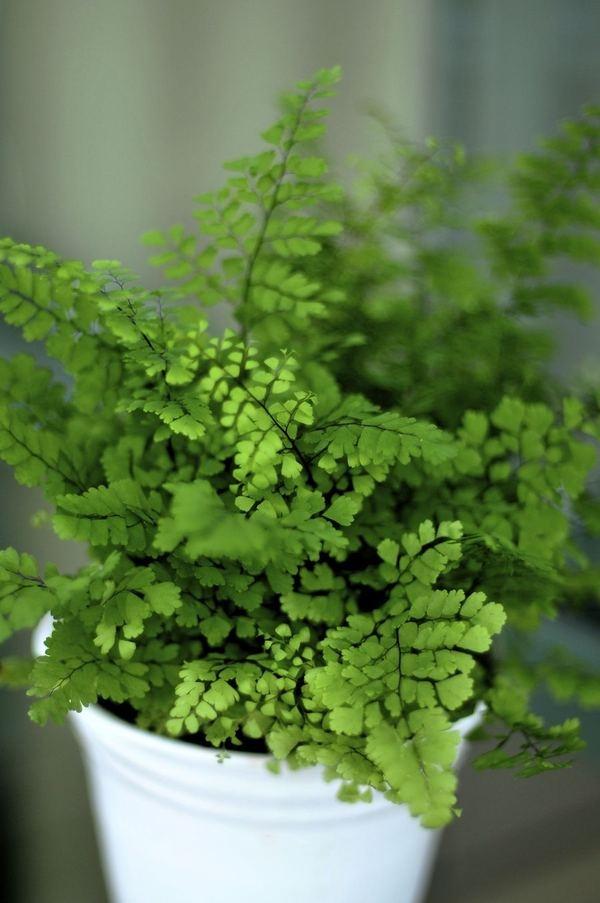 Best 25 Maidenhair Fern Ideas On Pinterest Indoor Ferns