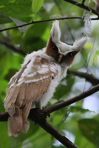 Crested Owl juvenile Pinned by www.myowlbarn.com