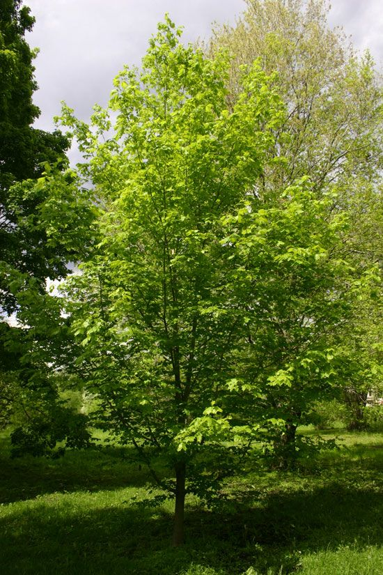 sugar tree black singles Plants tolerant of black walnut toxicity   the highest concentration of juglone occurs in the soil directly under the tree's canopy,  sugar maple.
